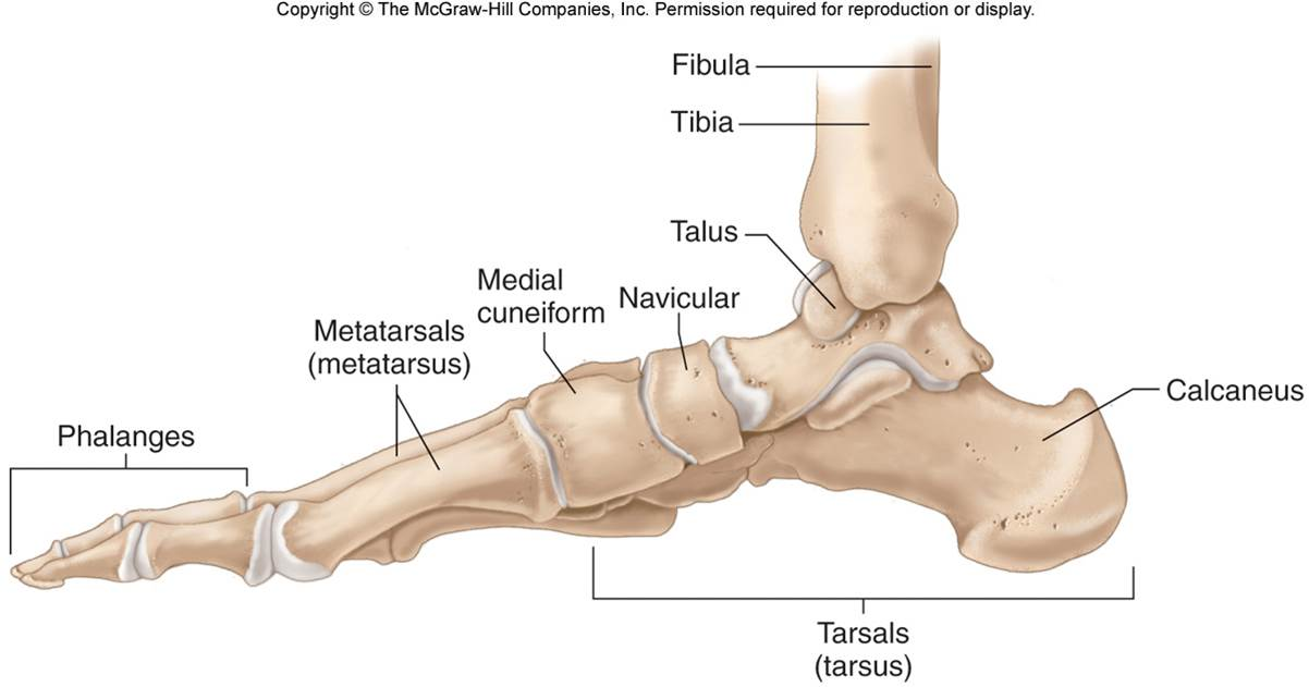 Image result for tarsals and metatarsals