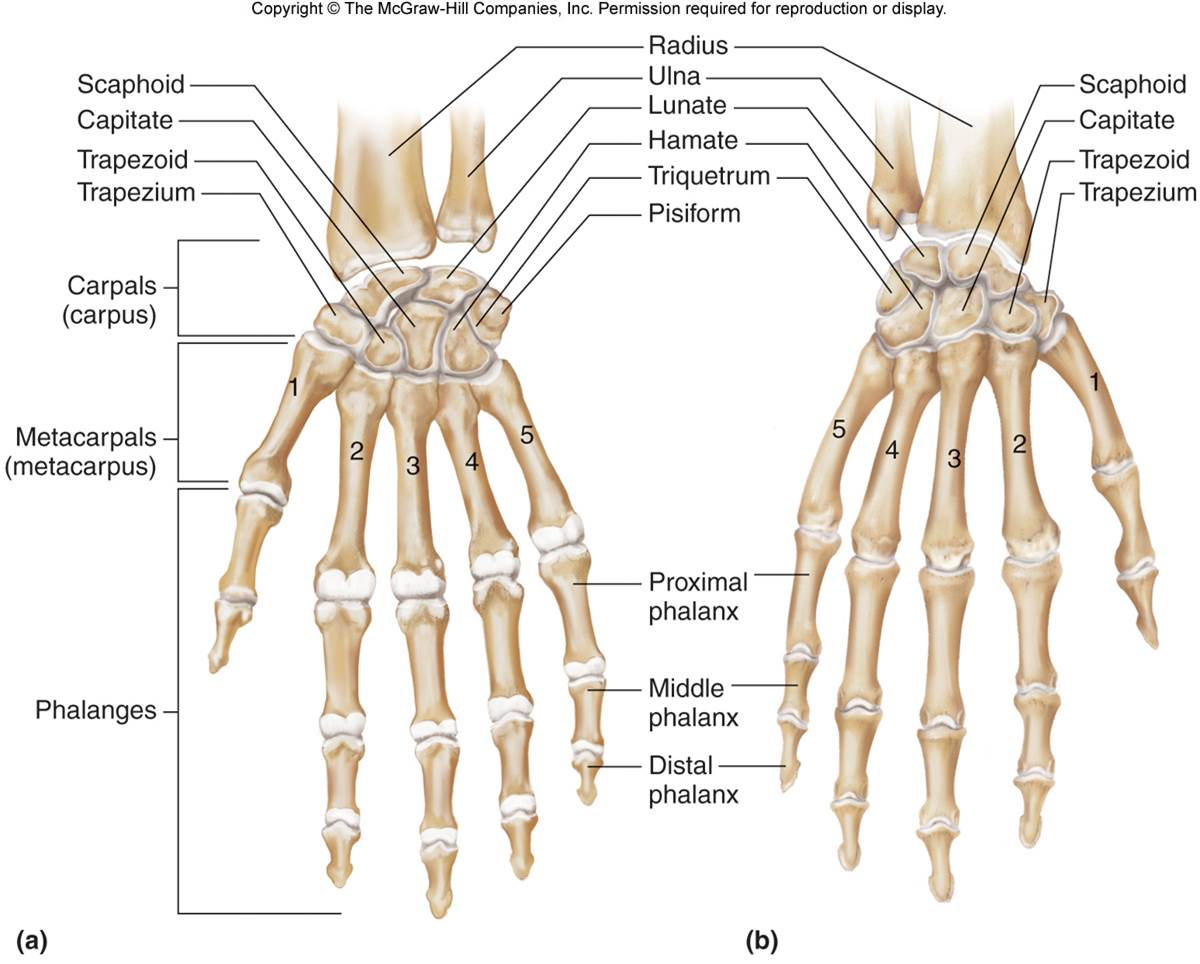 Carpal Hand