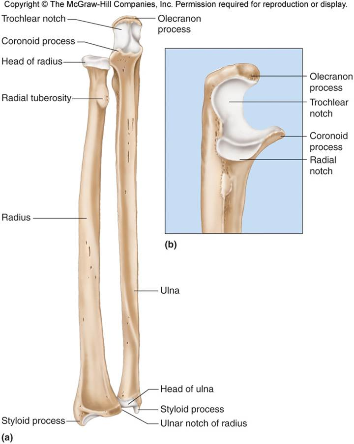 Radius & Ulna | Chandler Physical Therapy Ulna Bone