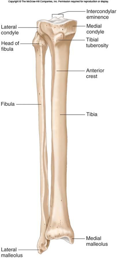 Tibia & Fibula | Chandler Physical Therapy