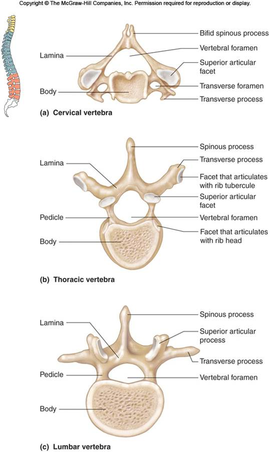 Spine Full Vertebrae C T L  Labeled Thoracic Vertebrae