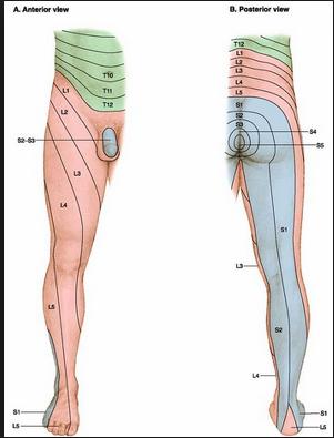 dermatome lower leg