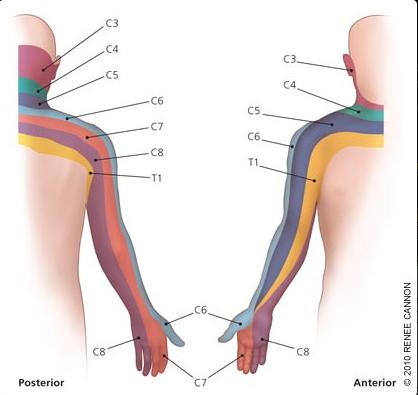 dermatomes upper extremity