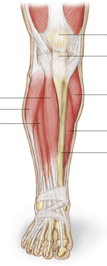 Anterior Lower Leg