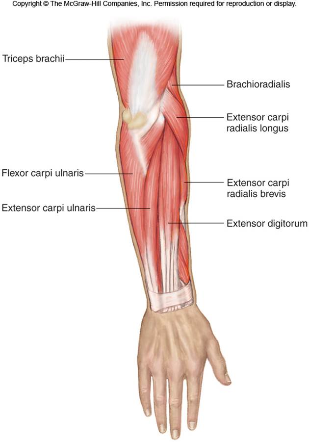 Elbow & Lower Arm | Chandler Physical Therapy