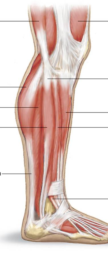 Lateral Lower Leg