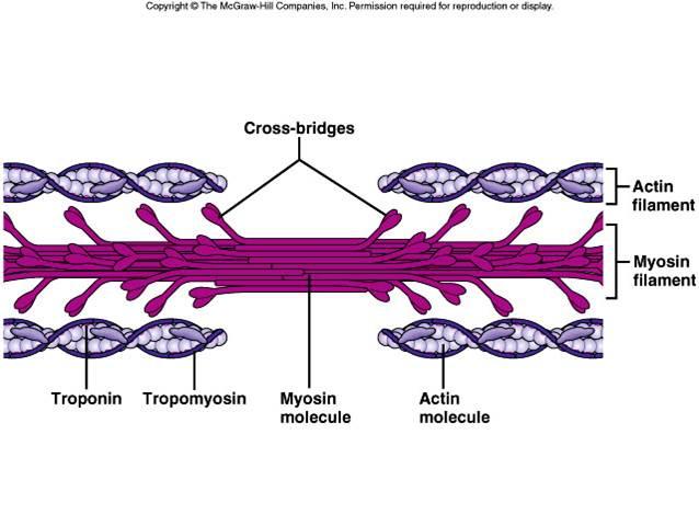 Mysoin actin cross bridge