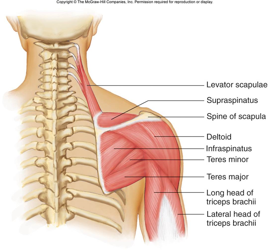 Shoulder & Upper Arm | Chandler Physical Therapy