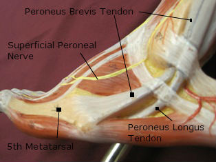 ankle-tendons-lateral-labeled