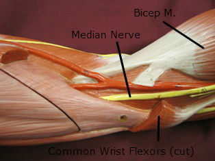 elbow-muscles-medial-2-labeled