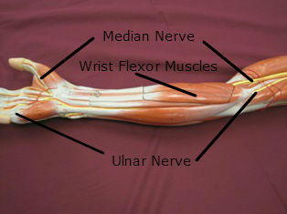 forearm-muscles-anterior-flexors-labeled