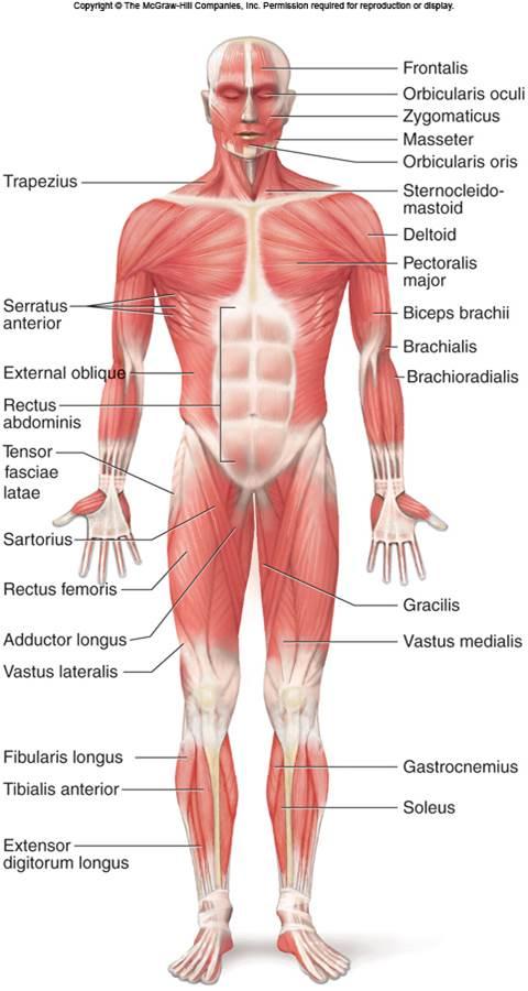 full body anterior view