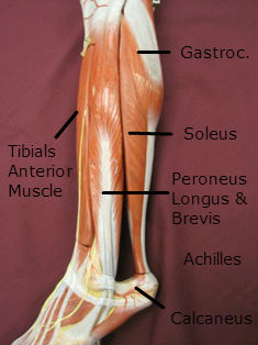 gastroc-muscle-lateral-labeled