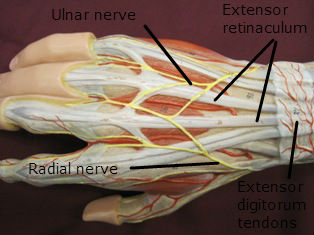 hand-muscles-posterior-labeled