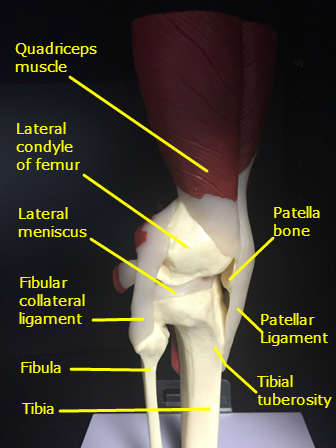knee-model-lateral-view-labeled