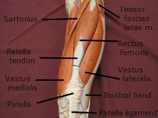 quadriceps-muscle-anterior-2-labeled