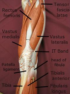 quadriceps-muscle-anterior-3-labeled