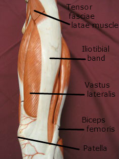 quadriceps-muscle-lateral-labeled