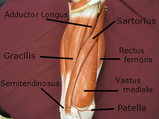 Quadriceps Muscle Medial Labeled