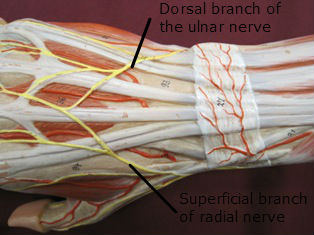 wrist-muscles-posterior-labeled