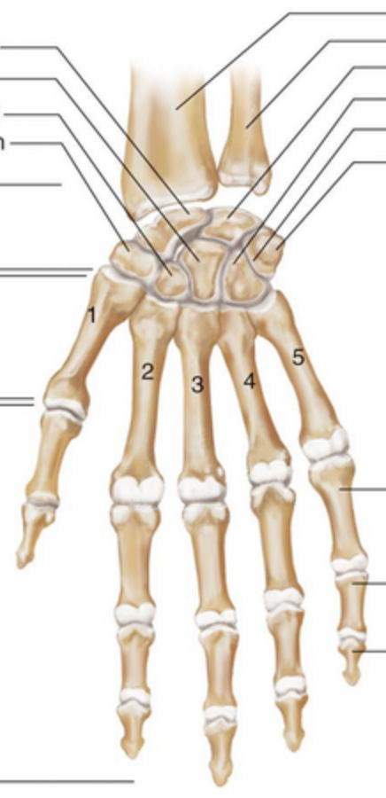 Carpals-hand-anterior-no-labels