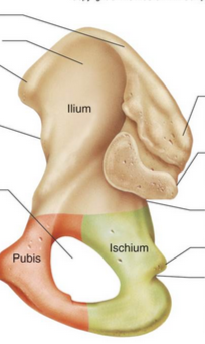 Ilium-medial-view-no-labels