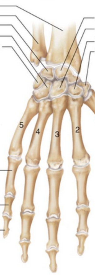 Posterior-view-carpal-hand-no-labels