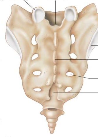 Sacrum-posterior-no-labels