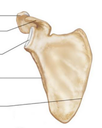 Scapula-anterior-no-labels