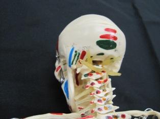 anatomy-model- 010