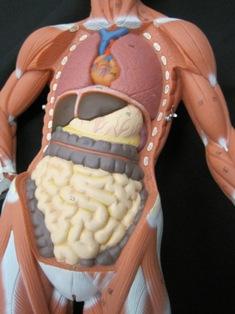 anatomy-model- 053
