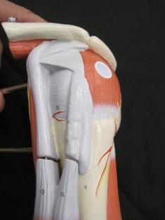 anatomy-model-bicep-43