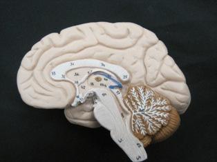 anatomy-model-brain-901