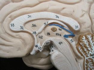 anatomy-model-brain-902