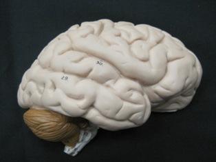 anatomy-model-brain-904