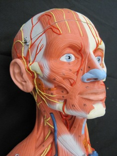 anatomy-model-face-muscles-088