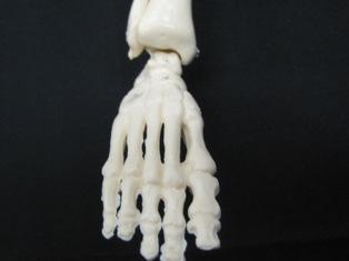 anatomy-model-foot-015