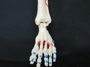 anatomy-model-foot-020