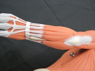 anatomy-model-forearm-muscles-031