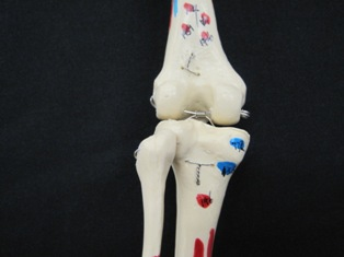 anatomy-model-knee-013