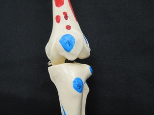 anatomy-model-knee-019