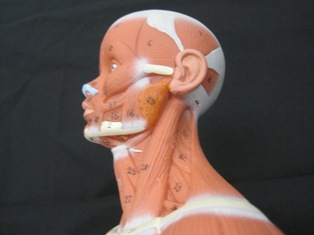 anatomy-model-lateral-neck-024