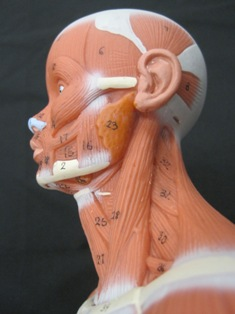anatomy-model-lateral-neck-026