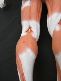 anatomy-model-leg-muscles-posterior-43