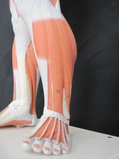 anatomy-model-lower-leg-049
