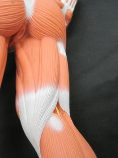 anatomy-model-muscle-hamstrings-041