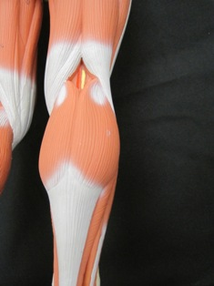 anatomy-model-muscle-knee-042