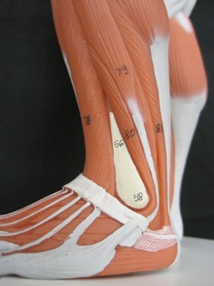 anatomy-model-muscle-leg-046
