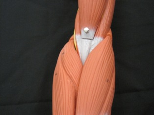 anatomy-model-muscle-nerves-elbow-11