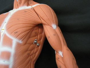 anatomy-model-muscles-034